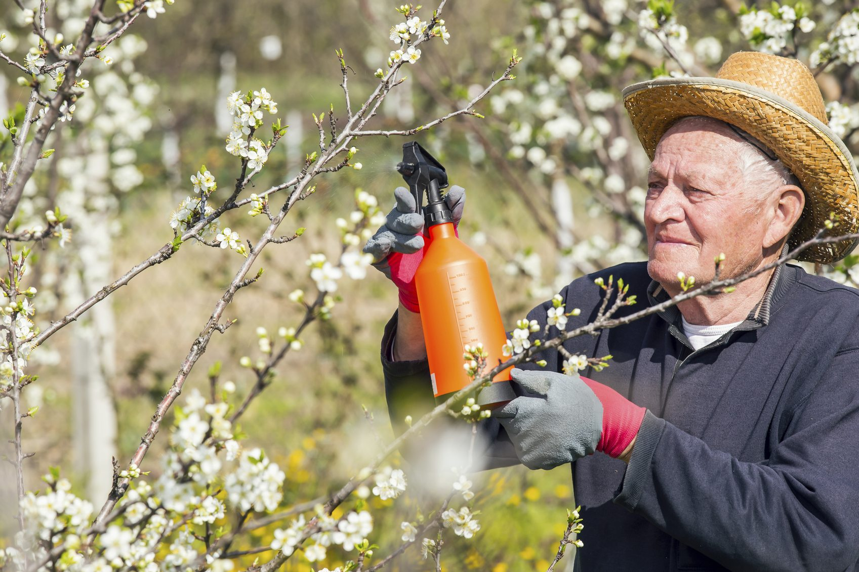 spraying plum trees  u2013 when and what to spray on plum trees