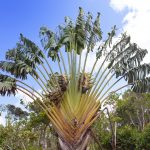 "Traveler's tree (Ravenala madagascariensis) , Park "" Black river Gorge "". Mauritius"