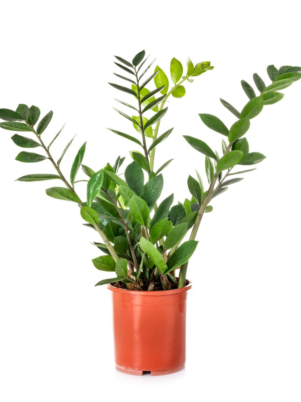 Zz Plant Leaf Propagation How To Root Zz Plant Cuttings
