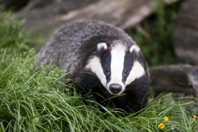 Deterring Badgers: How To Get Rid Of Badgers In The Garden