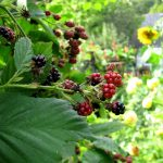 Beautiful berries of British Columbia's northern Vancouver Island, Canada