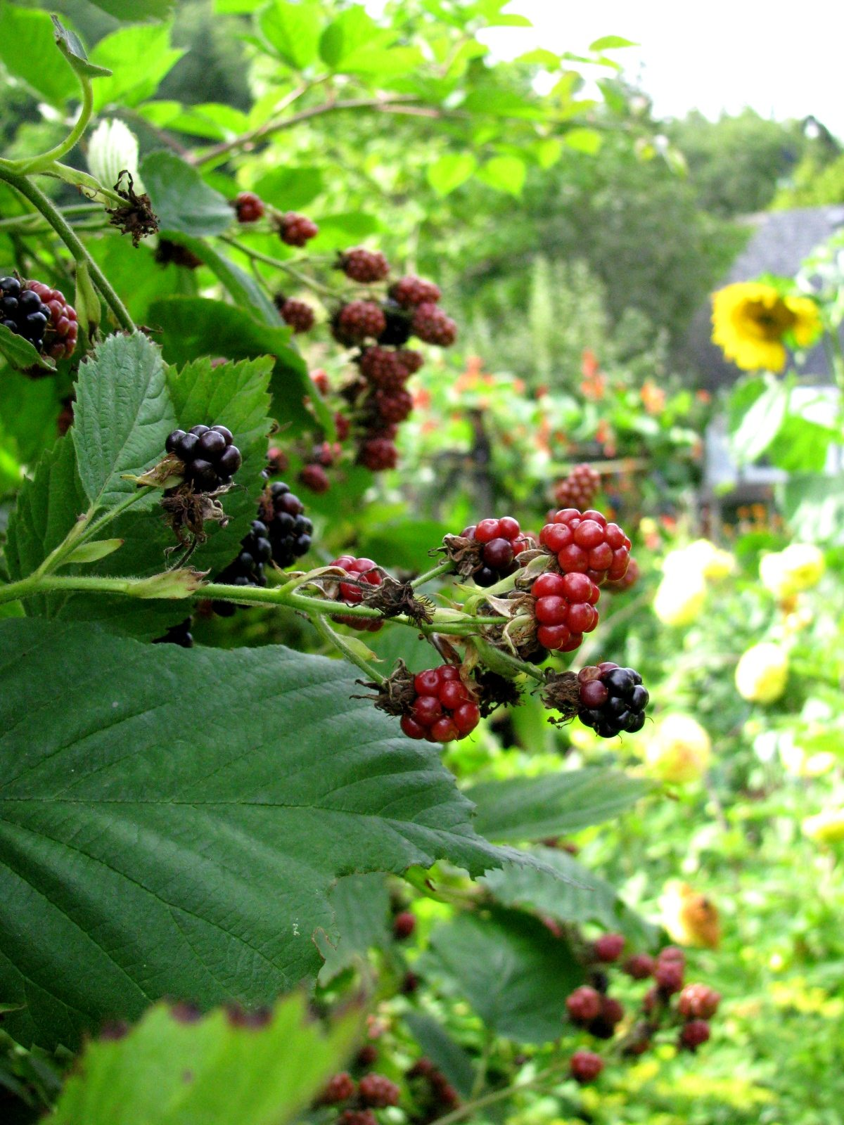 Planting Near Blackberries Selecting Companion Plants