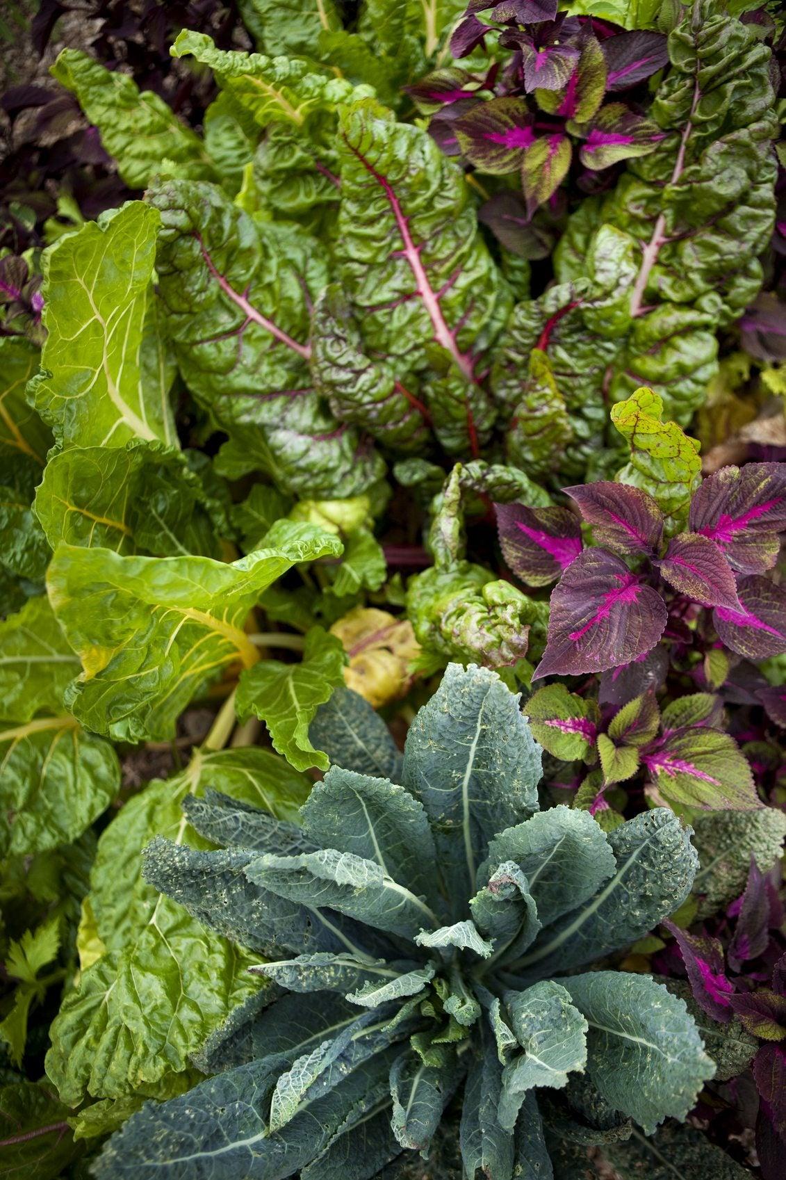 Chard Companion Plants Tips On Companion Planting With Chard
