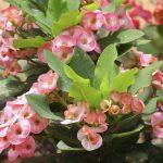 Euphorbia milii flowers.