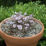 Soft violet cyclamen flowers in terracotta pot, Cyclamen hederifolium