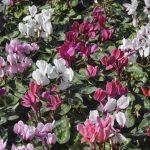 Cyclamen flower bed in a flower garden.