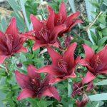 Lilies in a garden
