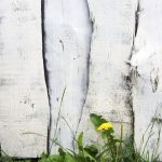 white wooden fence painted and with grass and dandelion