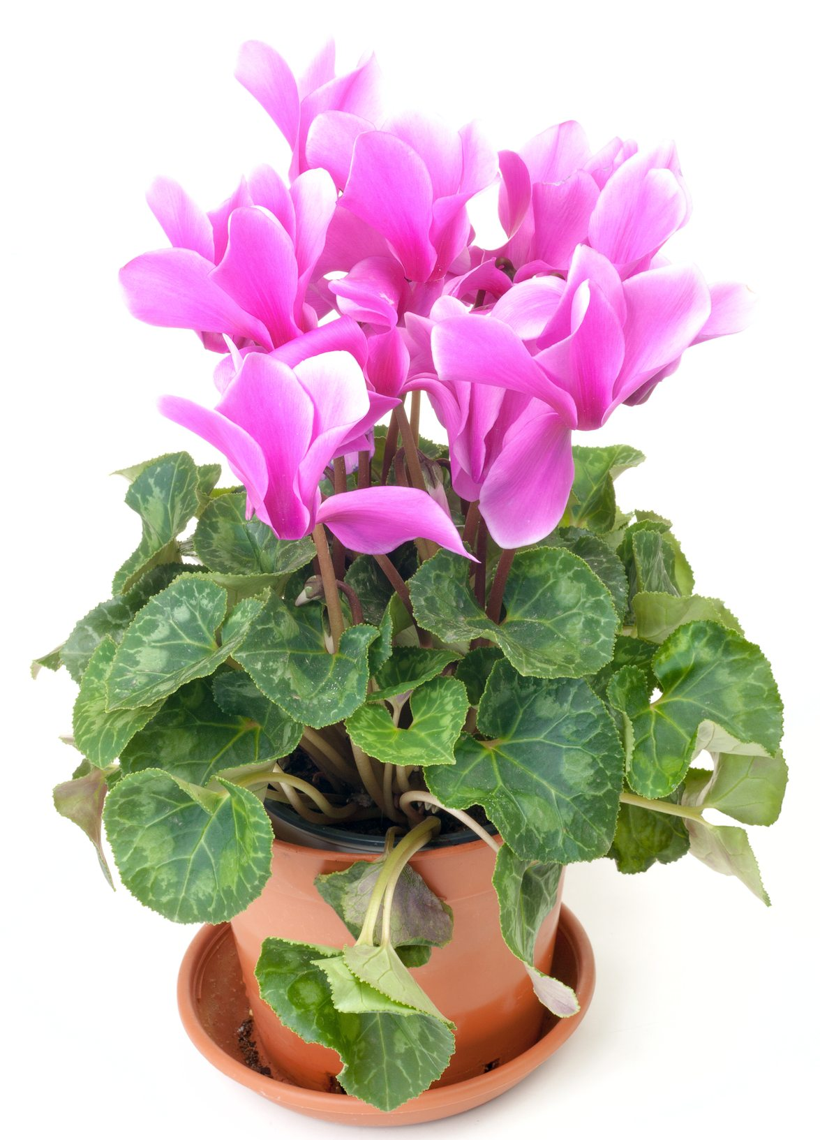 Cyclamen Plant Care Growing Tips Cutting Planting: Keeping Cyclamens After Blooms Fade