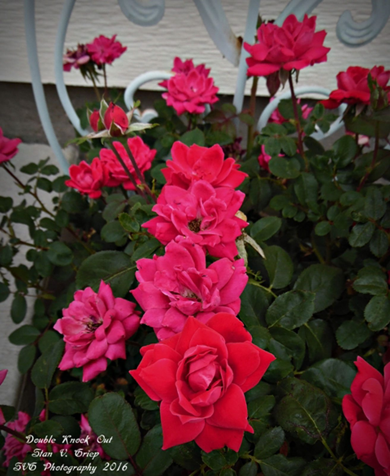 What Are Easy Care Roses Hard To Kill Roses For The Garden