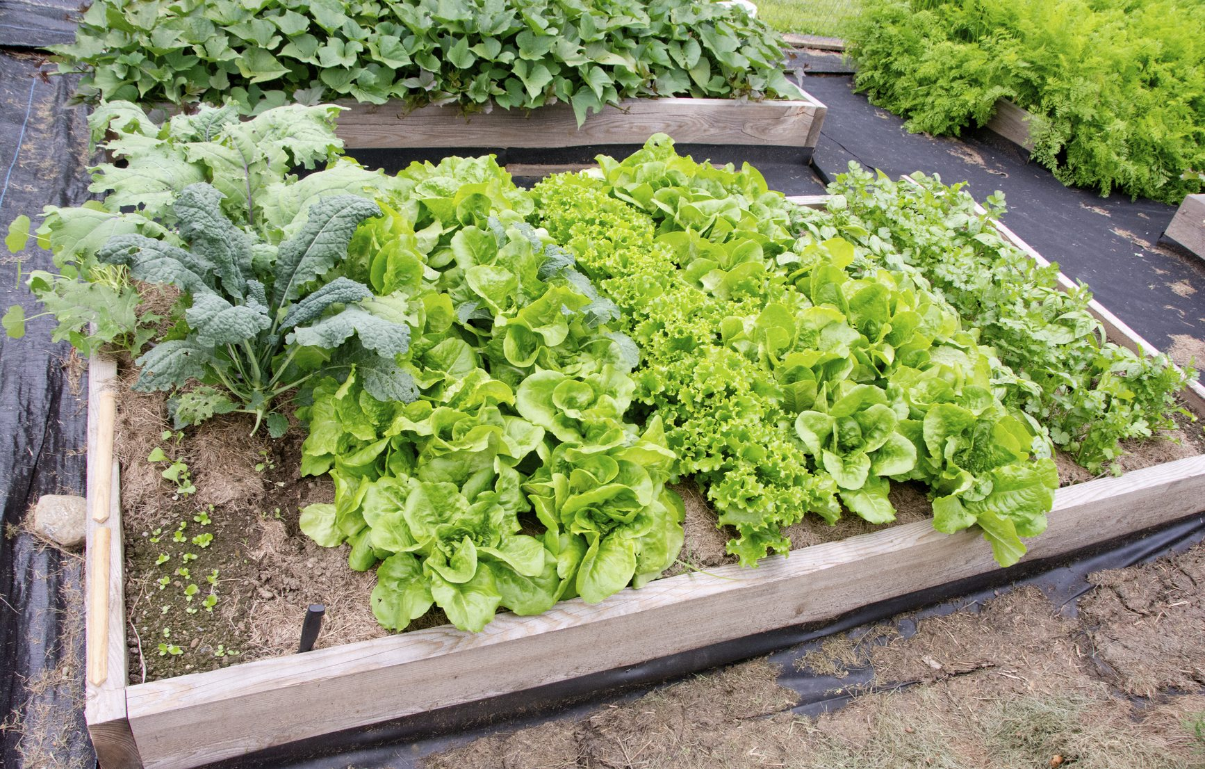 Kale Companion Planting - What Are Good Companion Plants ... Companion Planting Kale
