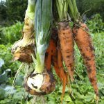 bunch of pulled out carrots and leeks on the kitchen garden