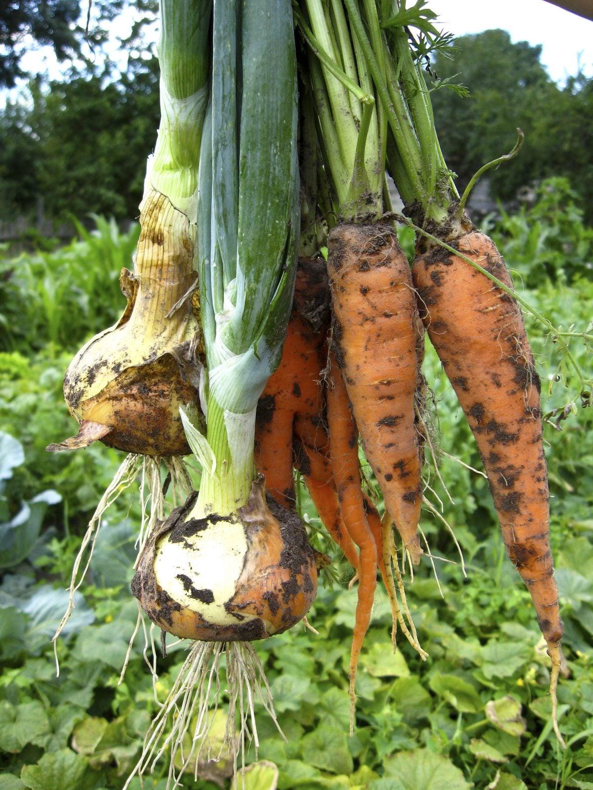 Leek Plant Companions - Learn About Companion Planting ... Leek Companion Plants