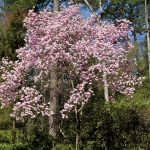 A japanese magnolia tree blooming in the spring over tulips