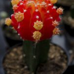 A vibrantly colored cactus succulent hybrid. Red with yellow spots.