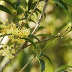 Group of Sweet osmanthus or Sweet olive flowers blossom on its tree