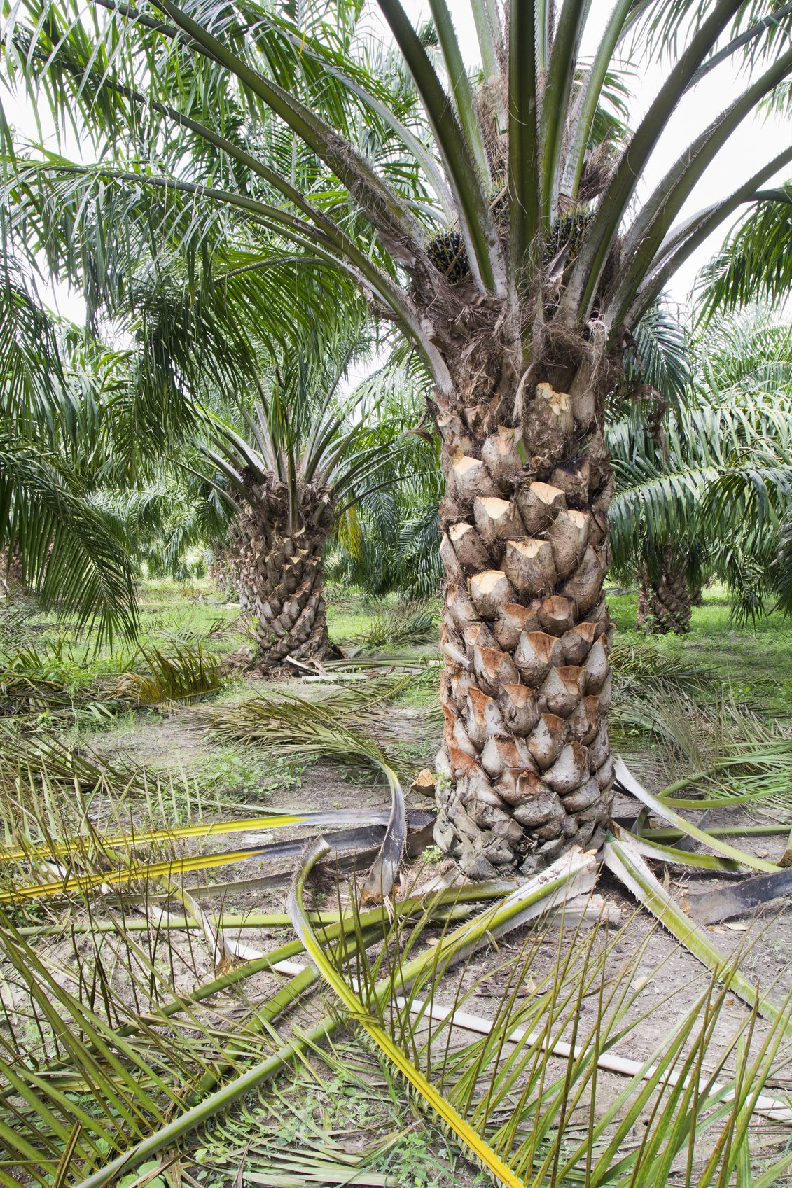 Palm Tree Pruning How And When To