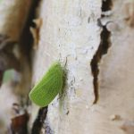 Planthopper on River Birch Tree