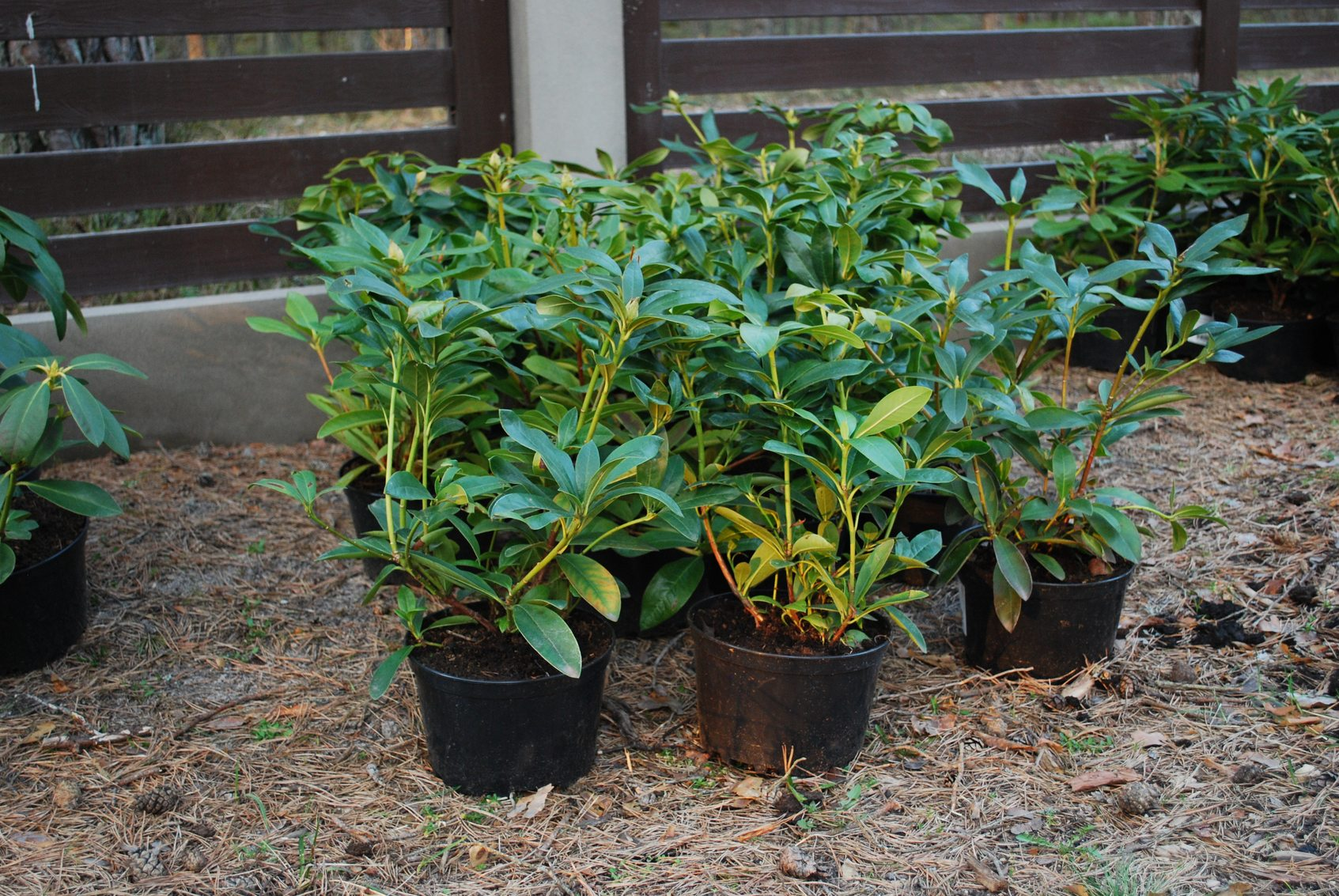 Can Rhododendrons Grow In A Container Selecting