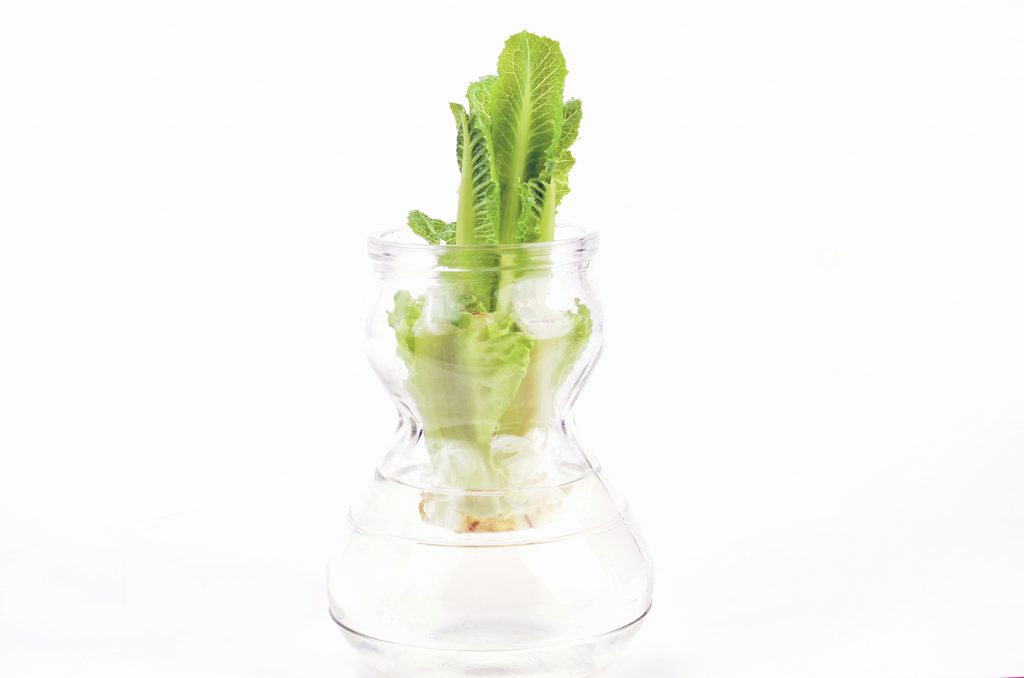 Chopped down stem and root of Romaine Lettuce can be re-grown by putting root in jar of water.  This is reuslts after one week of growth.
