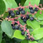 Pacific Northwest berries - Salal berries (Gaultheria shallon)