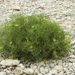 single samphire plant growing on rocky beach