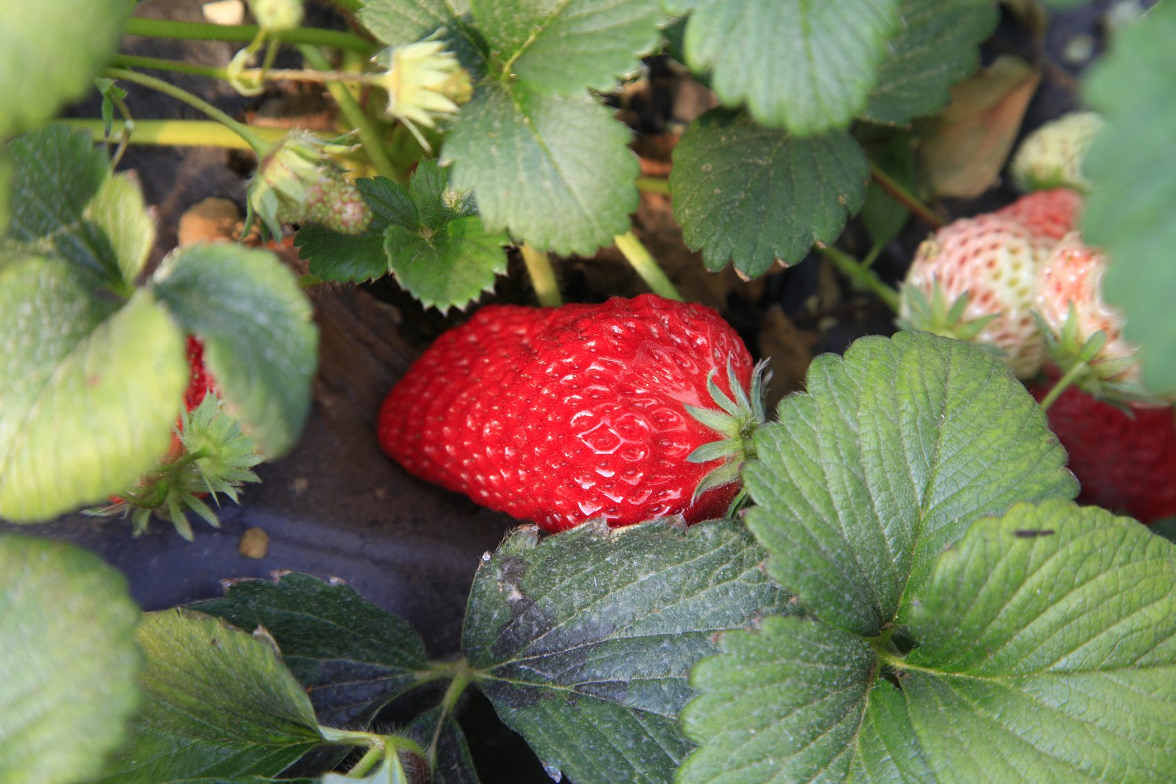 When to transplant strawberries to get healthy plants and early crops