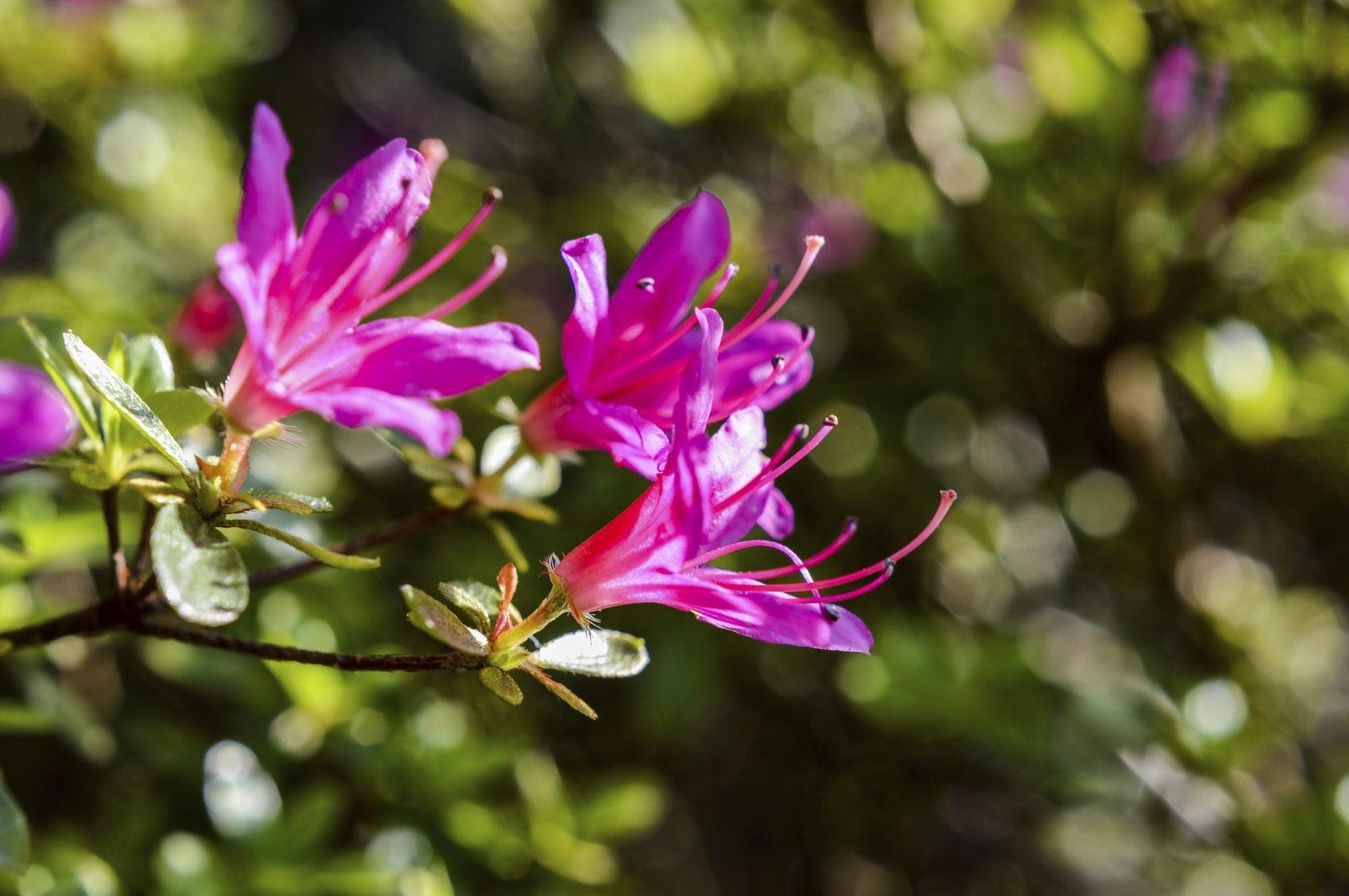 Azalea Plant Propagation Growing Azalea Plants From Cuttings