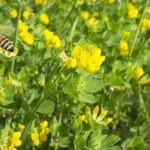 Bee at work while flying above yellows flowers of organic field of Puglia at sunlight in spring.