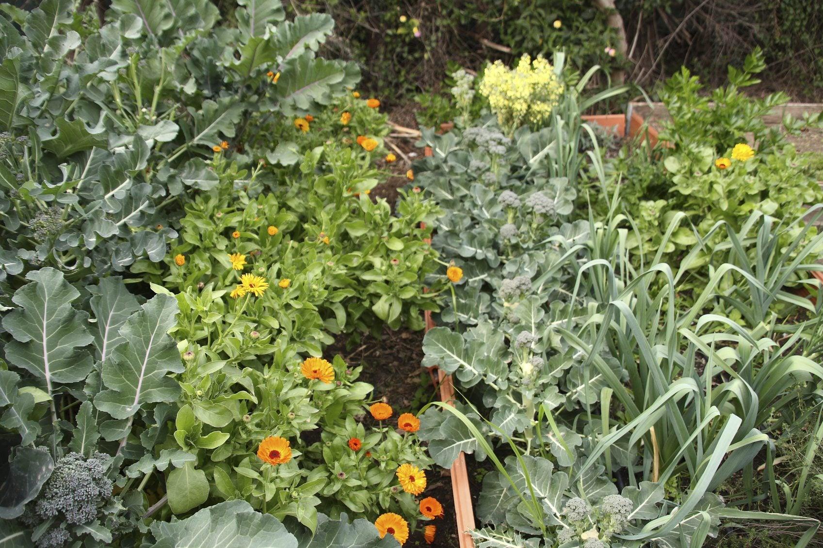 Broccoli Companion Plants What Should You Plant Next To Broccoli