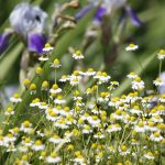 German Chamomile on field in sunny day