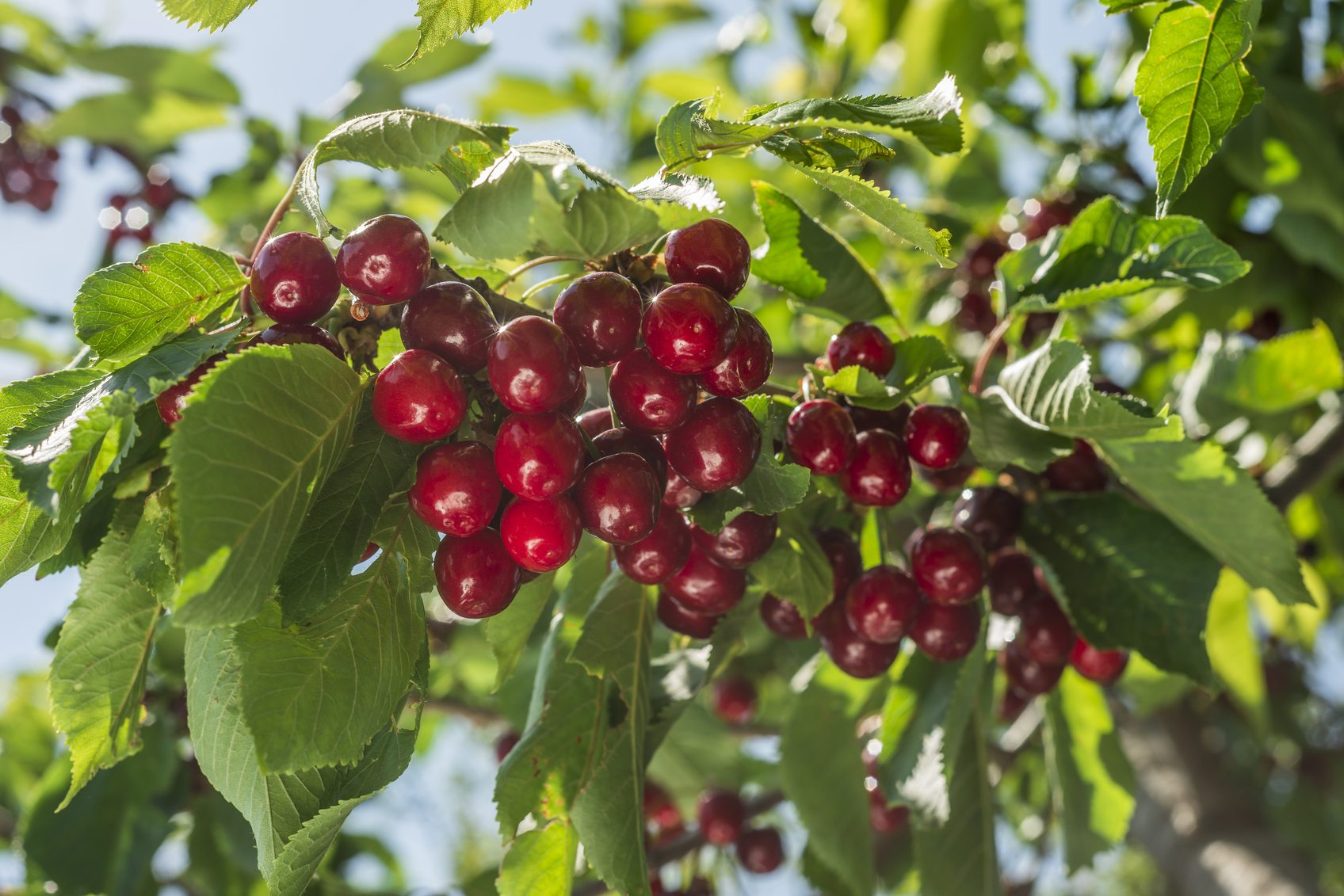 Fertilizing Cherry Trees How And When To Fertilize A