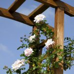 Rosebushes climbing on wood structure