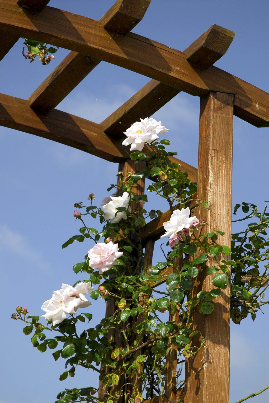 Climbing Roses Won T Climb Why A Climbing Rose Doesn T Climb