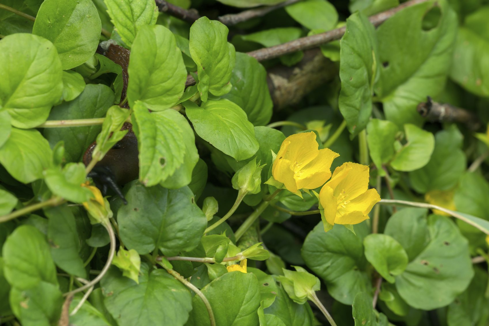 Creeping Jenny Lawn Controlling Cre...