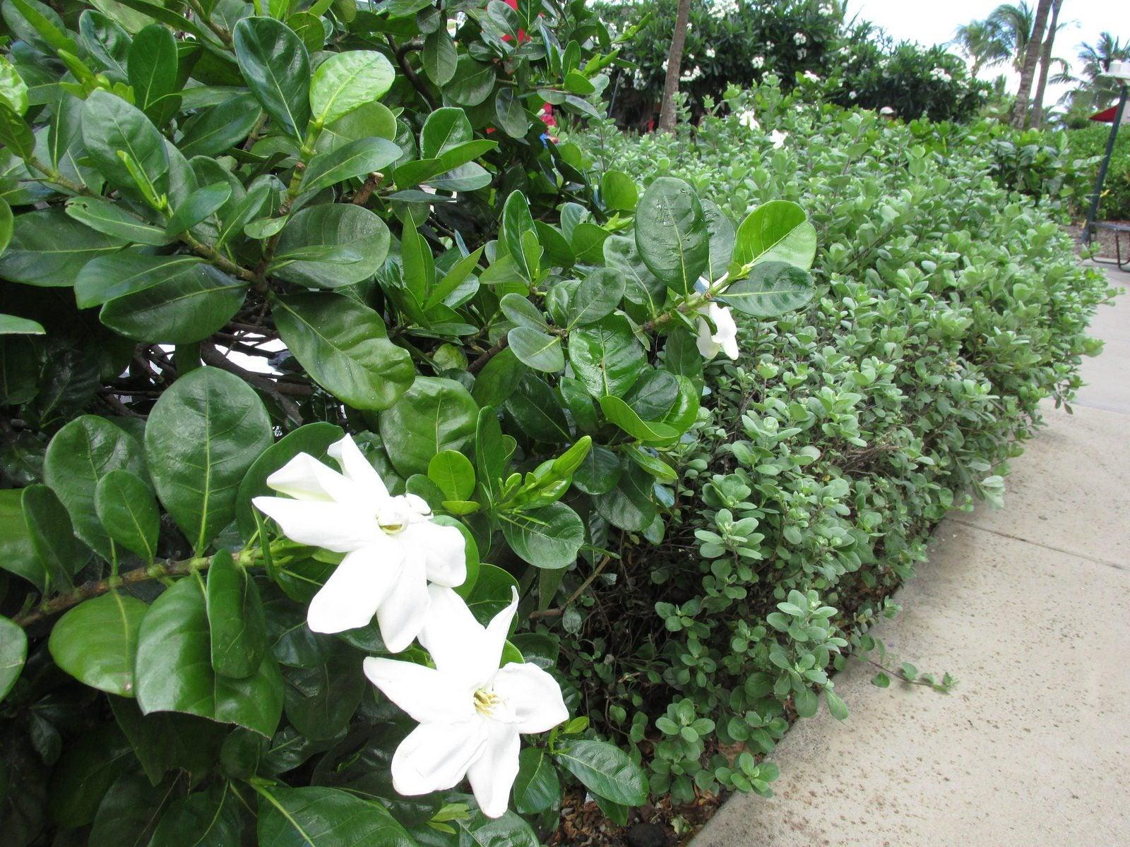 Gardenia Companion Planting: What Are Good Companion ...