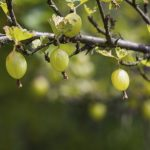 Gooseberry, garden plant, blur background