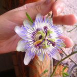 Passion flower on my windowsill.