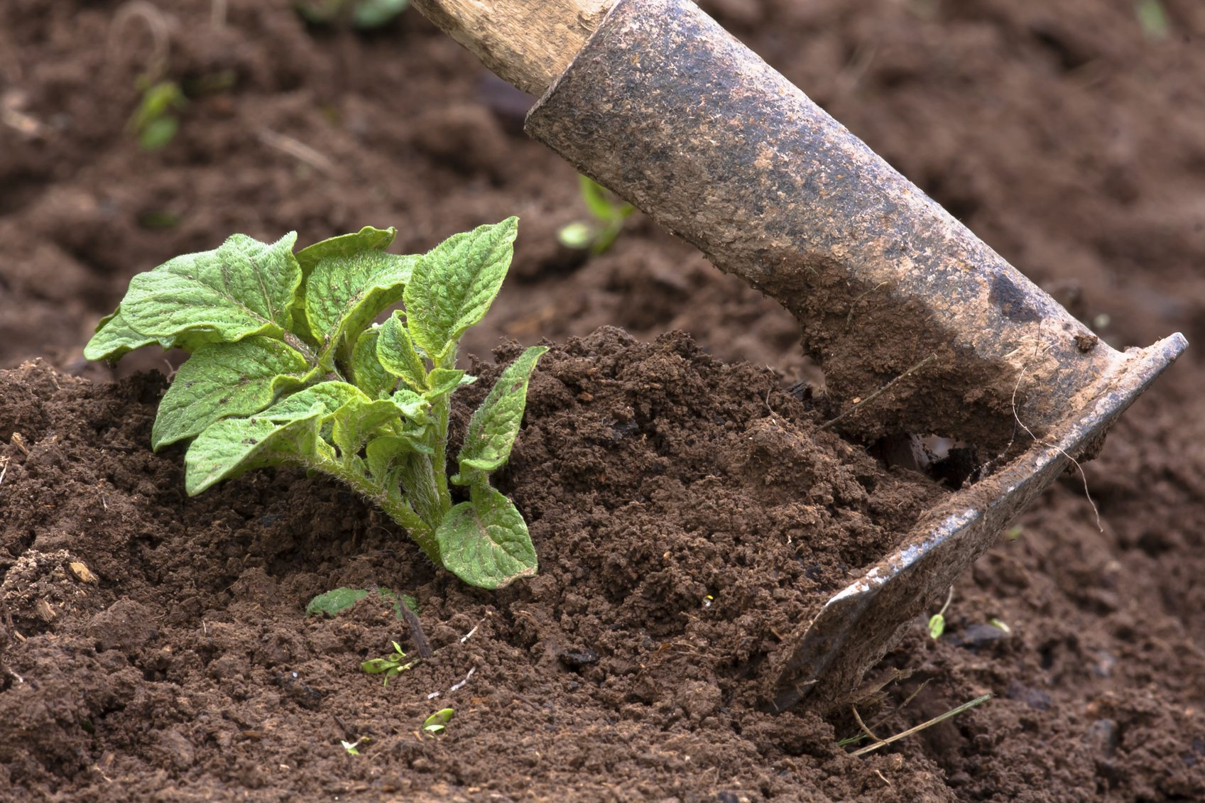 Hilling Up Potatoes Tips On When To Cover Potato Plants