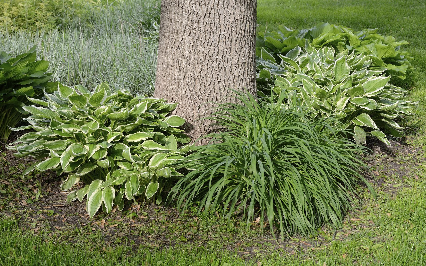 Hosta Plant Companions In The Garden What Are Companions For Hostas