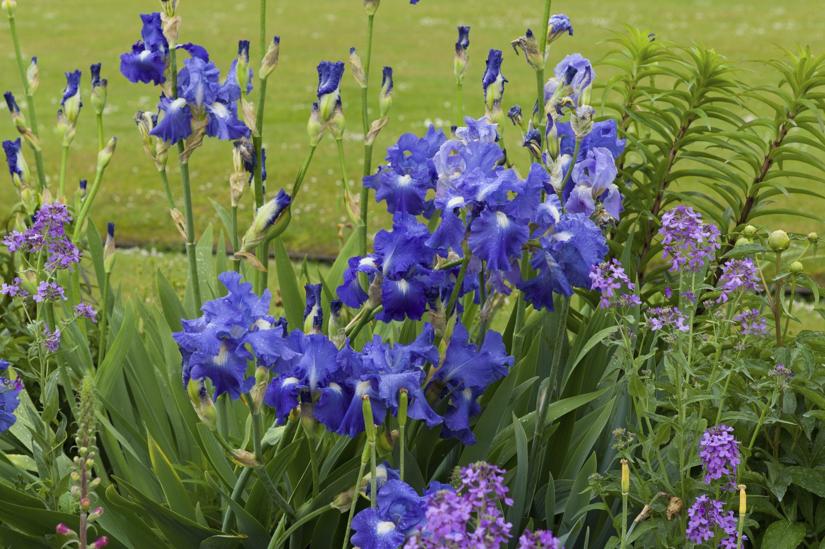 Good Companion Plants For Iris Learn What Flowers To
