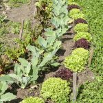 Salad and kohlrabi in a vegetable bed
