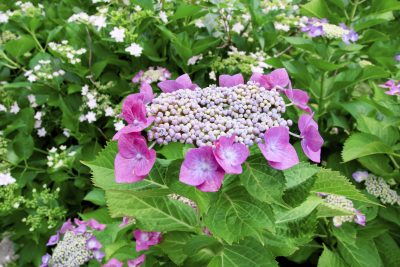 Lacecap Hydrangea Care What Is A