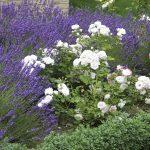 Frühling und Sommeranfang im Garten, blühender Lavendel zwischen Rosen im Beet