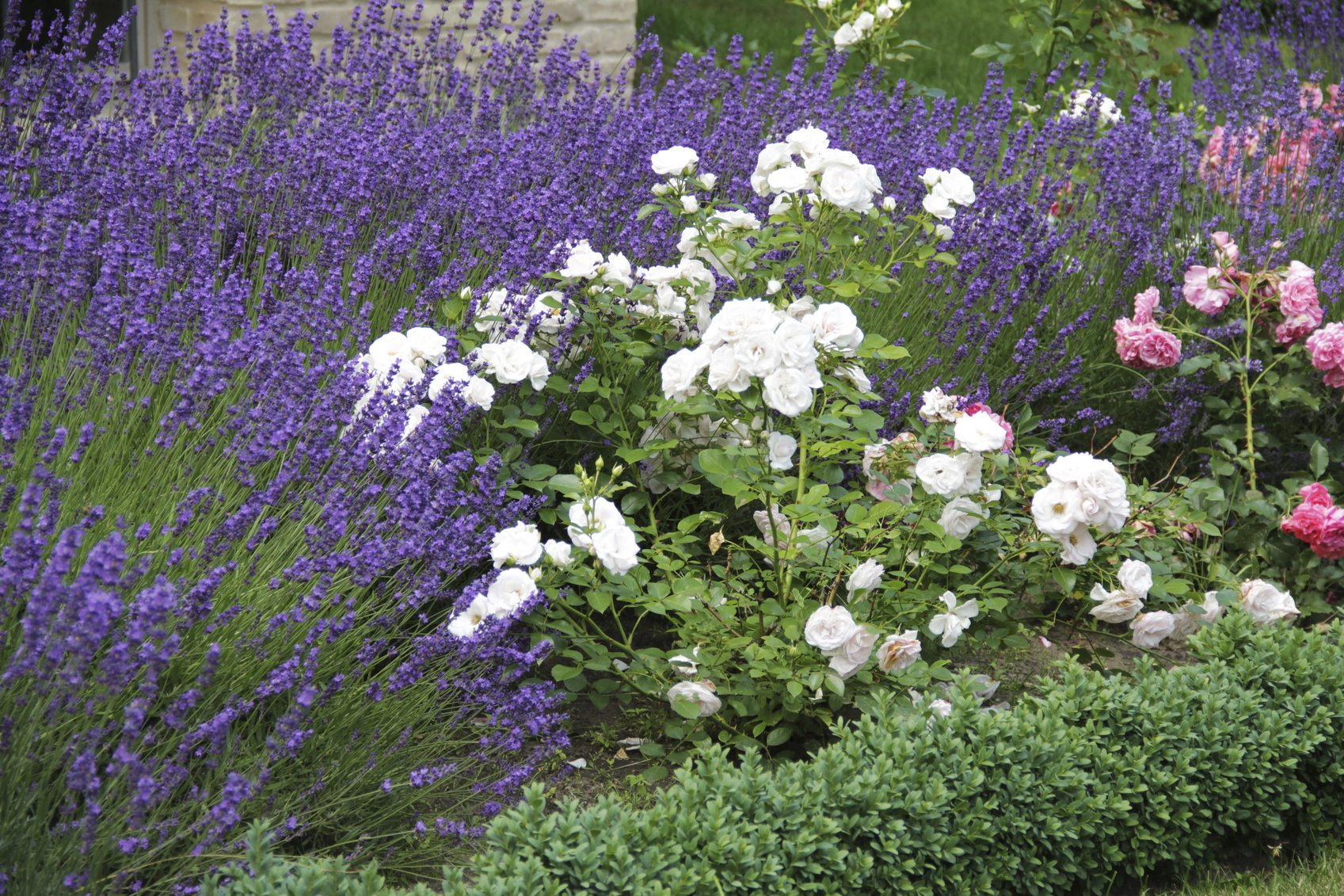 Lavender Plant Companions: Learn What To Plant With Lavender