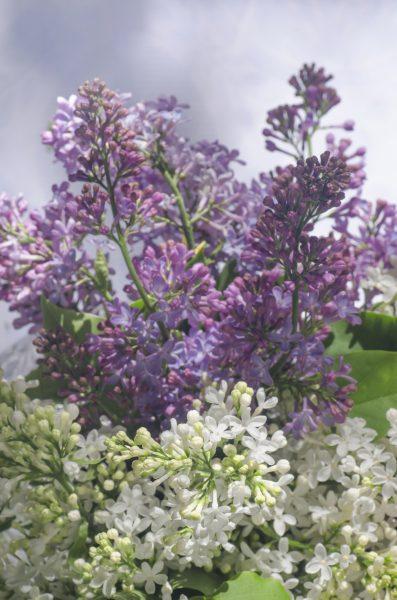 Companion Plants For Lilac Bushes: Learn About Companion
