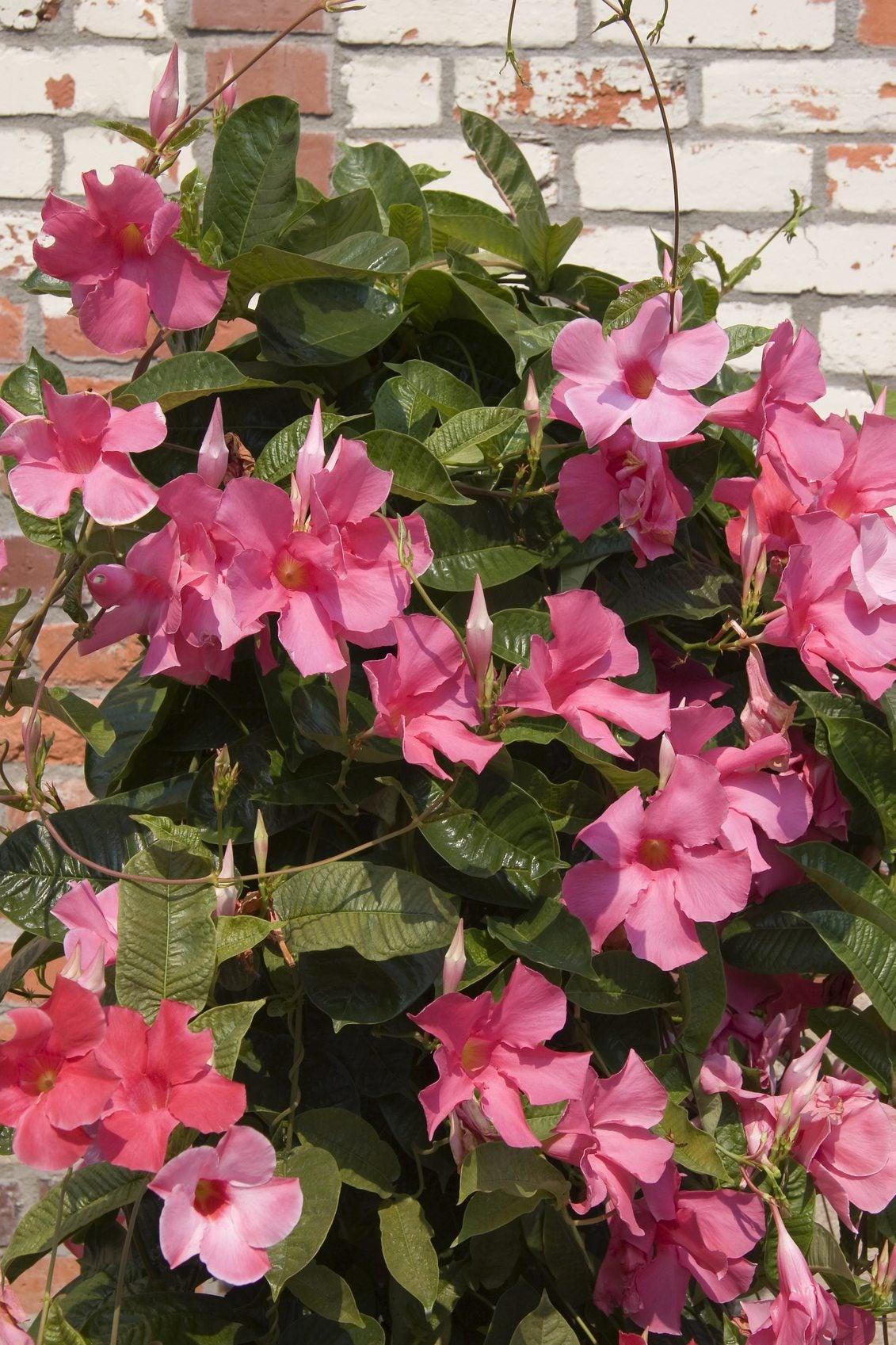 Picture of Live Mandevilla Pink  aka Sun Parasol Pretty Pink Mandevilla Plant Fit 1GAL Pot