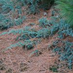 A variety of evergreen shrubs, plants, and ground covers blanketed with Eastern White Pine Tree needles that are shed each autumn.