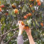 Hand harvesting the persimmon