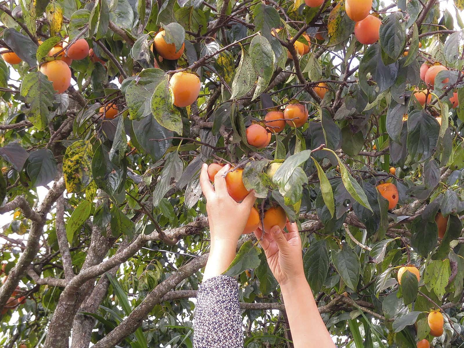 8 important stages of growing persimmon from the stone 29